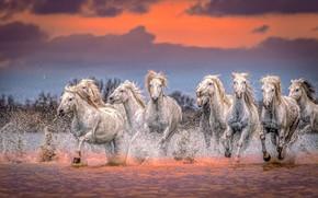 Картинка вода, закат, брызги, кони, лошади, табун