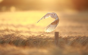 Картинка поле, сова, утро