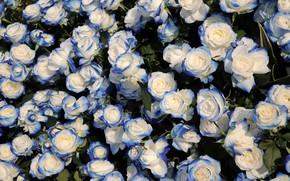 Картинка листья, розы, голубые, бутоны, много, двухцветные, сине-белые