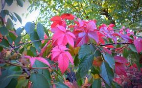 Картинка зелень, осень, листья, клён, autumn, leaves, macro