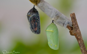 Картинка бабочки, веточка, коконы