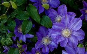 Картинка листья, капли, цветы, куст, фиолетовые, сиреневые, клематис, клематисы