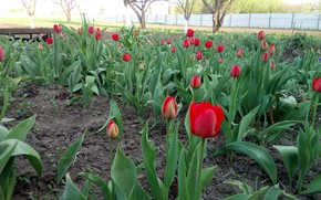 Картинка весна, Тюльпаны, май