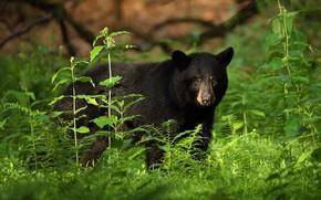 Картинка зелень, взгляд, морда, листья, заросли, черный, медведь, папоротник, барибал