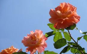 Картинка небо, трио, оранжевые розы, три розы, Meduzanol ©, лето 2018