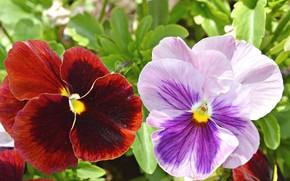 Картинка цветы, пара, анютины глазки