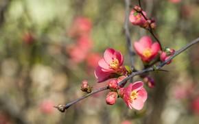Картинка цветы, ветка, весна, розовые, цветение, боке, айва