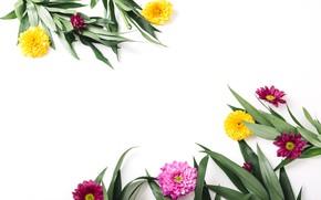 Картинка зелень, листья, цветы, хризантемы