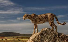 Картинка взгляд, облака, свет, поза, холмы, камень, гепард, профиль, стоит, дикая кошка, голубое небо