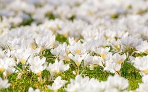 Картинка цветы, весна, крокусы, травка, цветение