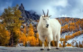 Картинка осень, горы, козёл, Пресайк Пик