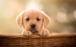 Картинка взгляд, фон, корзина, собака, щенок, мордашка, пёсик, Лабрадор-ретривер