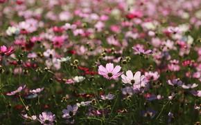 Картинка лето, цветы, полянка, цветение, Космея