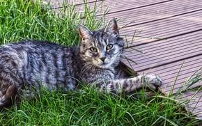 Картинка кошка, лето, трава, кот, взгляд, морда, природа, поза, серый, отдых, лапы, сад, дорожка, лежит, полосатый, …