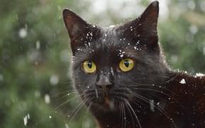 Картинка зима, кошка, кот, взгляд, морда, снег, крупный план, черный, портрет, черная, снегопад, зеленый фон, боке, ...