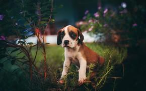 Картинка взгляд, цветы, ветки, темный фон, собака, сад, малыш, мордочка, щенок, сидит, кусты, боке