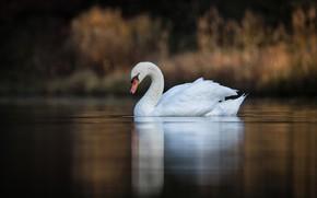 Картинка озеро, птица, лебедь, боке