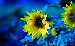 Картинка подсолнухи, цветы, обработка, желтые, синий фон, подсолнечник