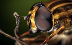 Картинка Макро, Пчела, Глаза, Beautiful, Насекомое, Macro, Insect, Bee, Close-Up, Egor Kamelev, by Egor Kamelev