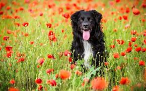 Картинка поле, язык, лето, взгляд, морда, цветы, природа, поза, маки, портрет, собака, позитив, красные, черная, прогулка, …