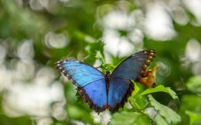 Картинка листья, макро, фон, бабочка, насекомое, синяя, голубая, боке