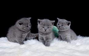 Картинка кошки, котята, три, черный фон, малыши, трио, британцы, три котенка, британские, троица, малютки, малявки