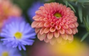 Картинка цветок, лепестки, георгин