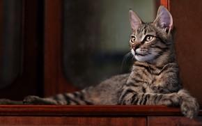 Картинка кошка, взгляд, поза, темный фон, котенок, серый, мебель, мордочка, лежит, полосатый, фотостудия