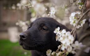Картинка взгляд, цветы, черный, портрет, собака, размытие, ветка, весна, щенок, черная, цветение, боке