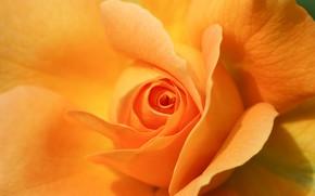 Картинка макро, роза, лепестки, жёлтая роза