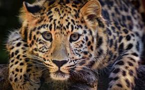 Обои взгляд, морда, хищник, лапы, леопард, дикая кошка