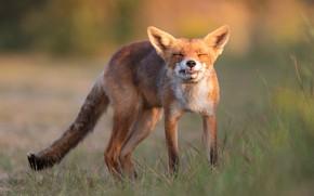 Картинка трава, взгляд, морда, поза, лиса, рыжая, выражение, лисица