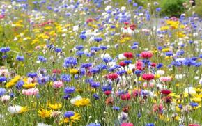 Картинка зелень, поле, лето, цветы, поляна, желтые, луг, голубые, розовые, белые, разноцветные, полевые, синие, много, васильки