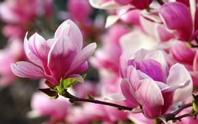 Картинка макро, цветы, ветки, цветение, магнолия