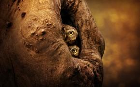 Картинка взгляд, птицы, темный фон, фон, дерево, сова, две, пара, совы, парочка, дуэт, боке, дупло, сыч, …