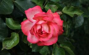 Картинка макро, роза, куст