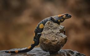 Картинка ящерица, пресмыкающееся, саламандра