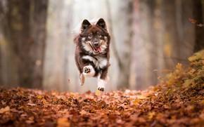 Картинка осень, лес, язык, взгляд, морда, листья, деревья, полет, природа, поза, туман, парк, фон, прыжок, листва, …