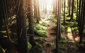 Картинка лес, природа, мох, Солнечный лучик, естественная среда