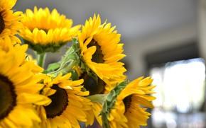Картинка цветок, солнце, желтый, природа, подсолнечник