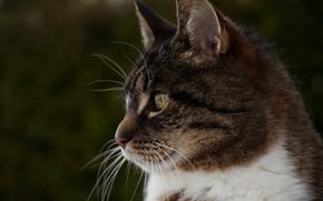 Картинка кошка, кот, взгляд, морда, темный фон, серый, портрет, профиль, полосатый, боке