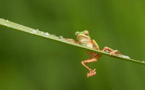 Картинка капли, лягушка, зеленый фон, травинка