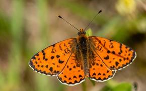 Картинка фон, бабочка, оранжевая