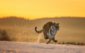 Картинка зима, поле, лес, кошка, снег, природа, тигр, поза, прыжок, лапы, утро, бег