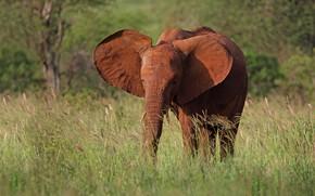 Картинка трава, морда, природа, слон, прогулка, уши, хобот, слоненок, слонёнок