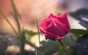 Картинка листья, розовая, роза, бутон, светлый фон, боке
