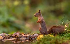 Картинка осень, листья, природа, поза, фон, лапки, белка, рыжая, водоем, стойка, боке, осенние
