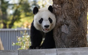 Картинка взгляд, морда, природа, поза, дерево, забор, медведь, панда, медвежонок, зоопарк