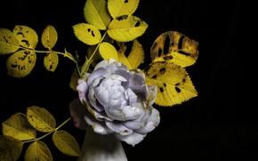 Картинка осень, роза, жёлтые листья