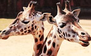Картинка взгляд, свет, фон, портрет, жираф, контраст, пара, жирафы, парочка, дуэт, два, морды